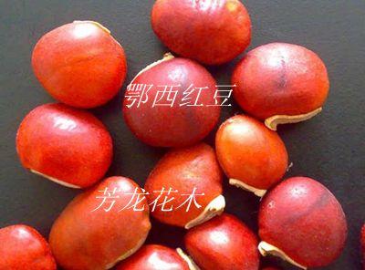鄂西红豆-永顺县芳龙花木种苗有限公司